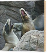 Singing Sea Lions Wood Print