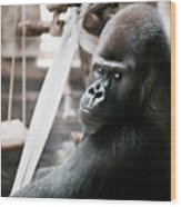 Single Gorilla Sitting Alone Wood Print