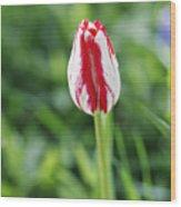 Single Lovely Tulip Wood Print