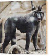 Single Macaque Monkey Standing Wood Print