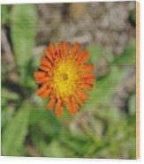 Single Orange Wild Flower Wood Print