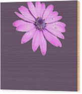 Single Pink African Daisy Wood Print
