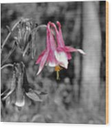 Single Pink Columbine Wood Print