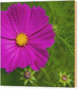 Single Purple Cosmos Flower Wood Print