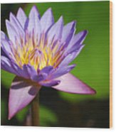 Single Purple Water Lily Number One Wood Print