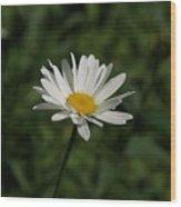 Single Shasta Daisy Bloom Wood Print