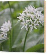 Single Stem Of Wild Garlic Wood Print