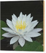 Single While Water Lily On Black Background Wood Print