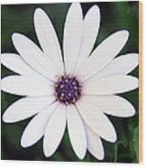 Single White Daisy Macro Wood Print