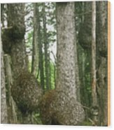 Sitka Spruce Burls On The Olympic Coast Olympic National Park Wa Wood Print by Christine Till