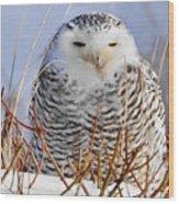 Sitting Snowy Owl Wood Print