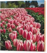 Skagit County Tulip Festival Wood Print