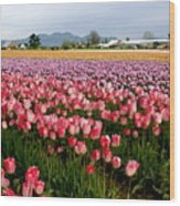 Skagit Valley Tulip Festival Wood Print