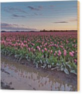 Skagit Valley Tulip Reflections Wood Print