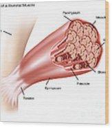 Skeletal Muscle Structure Wood Print