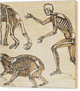 Skeletons Of Man, Ape, Bear, 1860 Wood Print