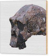 Skull Of Homo Erectus Wood Print