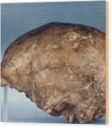 Skull Of Peking Man Wood Print
