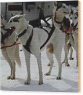 Sledge Dogs H A Wood Print