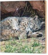 Sleeping Bobcat Wood Print