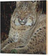 Sleepy Bobcat Wood Print