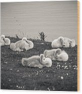 Sleeping Cygnets Wood Print