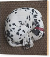 Sleeping Dalmatian II Wood Print