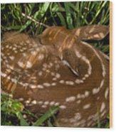 Sleeping Fawn Wood Print