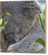 Sleeping Koala - Canberra - Australia Wood Print