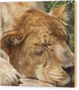 Sleeping Lioness  Wood Print