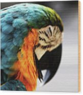 Sleeping Macaw Wood Print