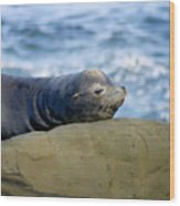 Sleeping Sea Lion Wood Print