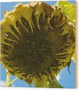 Sleeping Sunflower Wood Print