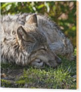 Sleeping Timber Wolf Wood Print