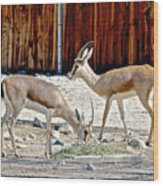 Slender-horned Gazelles In Living Desert Zoo And Gardens In Palm Desert-california Wood Print
