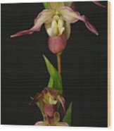 Slipper Foot Orchids Wood Print
