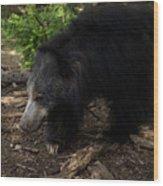 Sloth Bears Melursus Ursinusat Wood Print