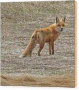Sly Fox 5785 Wood Print