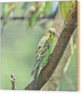 Small Budgie Birds With Beautiful Colored Feathers Wood Print
