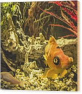 Small Fish In An Aquarium Wood Print