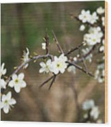 Small White Flowers Of Thorns Wood Print