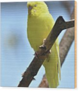 Small Yellow Budgie Parakeet In The Wild Wood Print