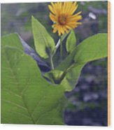 Small Yellow Flower And Green Big Leaves In The Sun Light. Wood Print