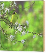 Smelling The Cherry Blossom Male  American Goldfinch Wood Print