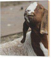 Smiling Goat  Wood Print