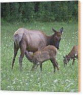 Smoky Mountain National Park Elk Cow Nursing Calf Wood Print