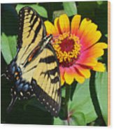 Snacking Tiger Swallowtail Butterfly Wood Print