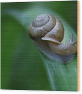 Snail In The Morning Wood Print