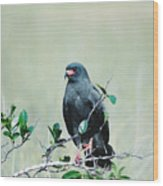 Snail Kite Wood Print