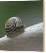 Snail On Rock Wood Print